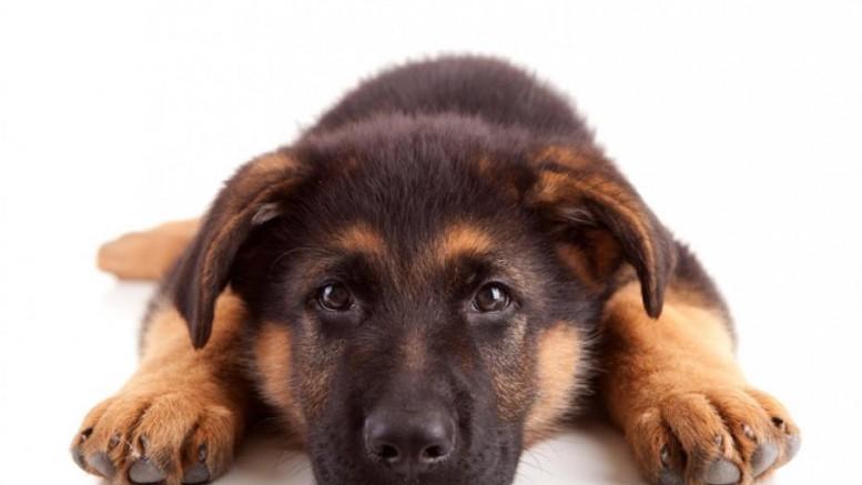 acheter des chiens