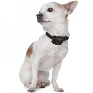 collier anti aboiement pour petit chien