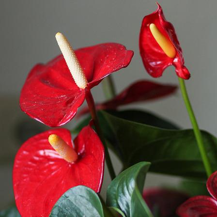 plante interieur fleur rouge
