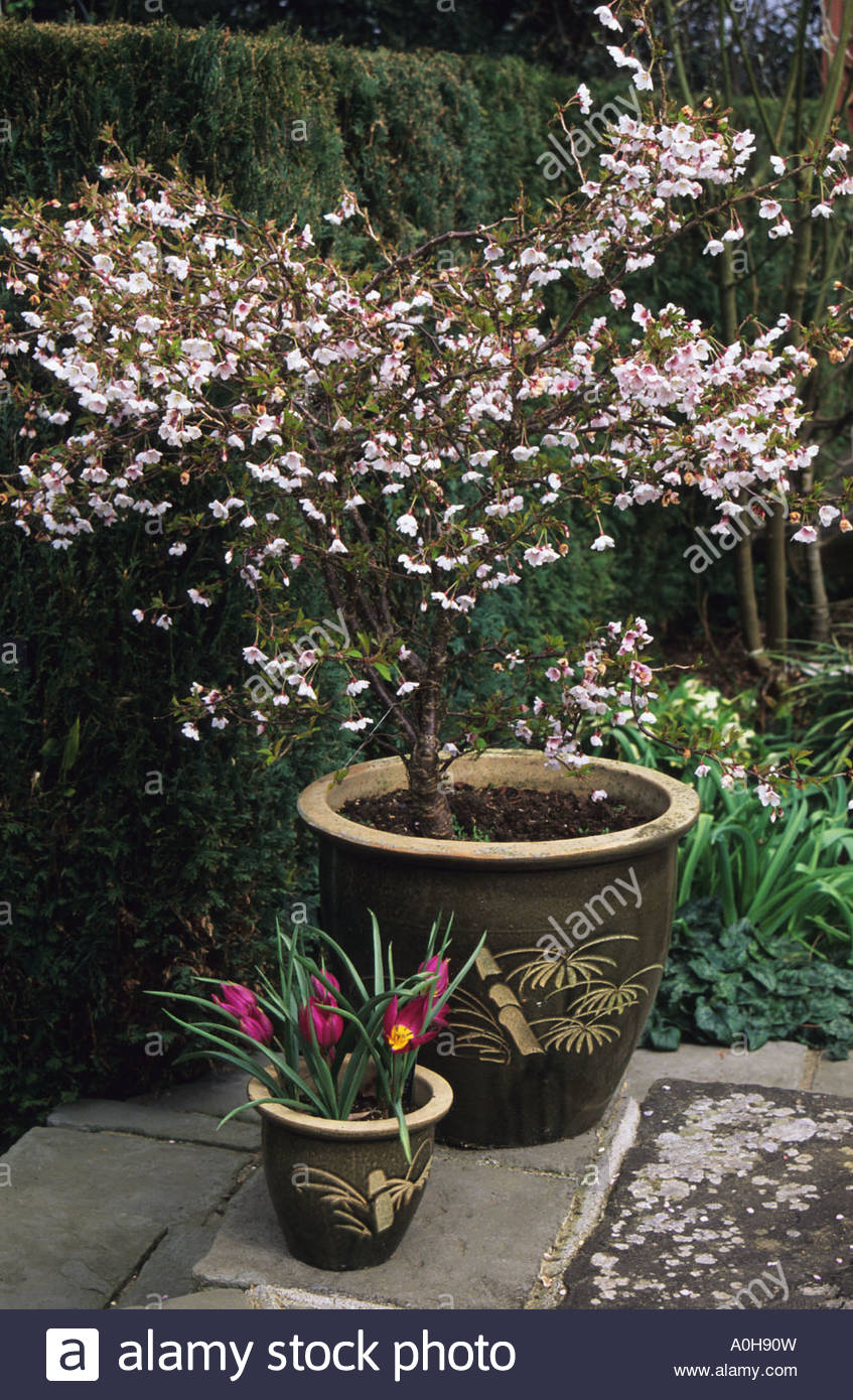 prunus en pot
